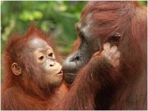 Borneo - Orangutans